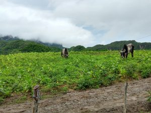 Two steers in a field of green tobacco plants