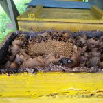 A yellow box of honey comb and stingless bees
