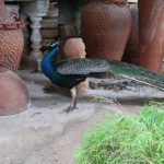 A peacock stands in front of large pottery jars
