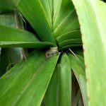 A frog peering out from the center of a leafy plant