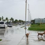 Three dogs run beside a flooded road through which cars are passing