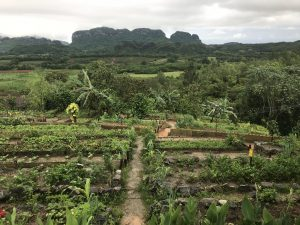 Rows of green vegetables in a garden in front of limestone hills